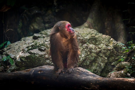 Stump-tailed macaque, a large, furry monkey tricky on the ground. Lives in the tropical forest