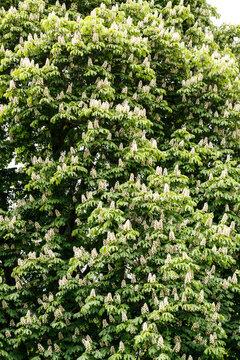 European horse-chestnut Aesculus hippocastanum
