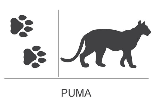 Silhouette and footprints of a puma(cougar). Vector illustration on a white background.