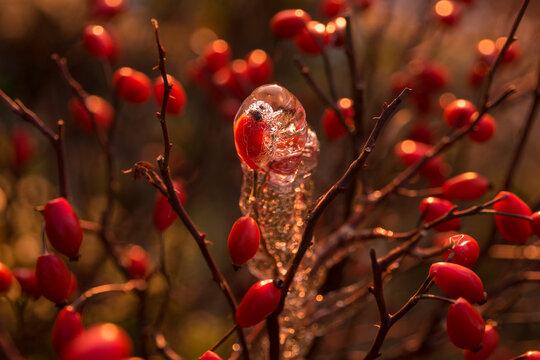 Hagebutten in Eis in der Morgensonne
