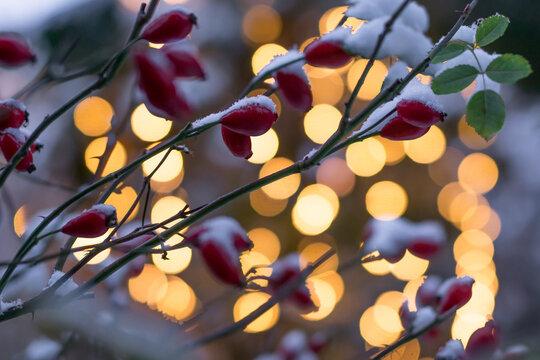 Hagebutten im Weihnachtsschnee
