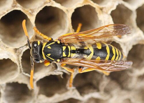 European wasp on hive, nest Polistes associus, macro