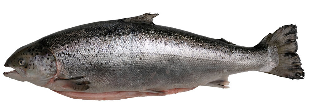 fresh large salmon with a raised tail on a white isolate