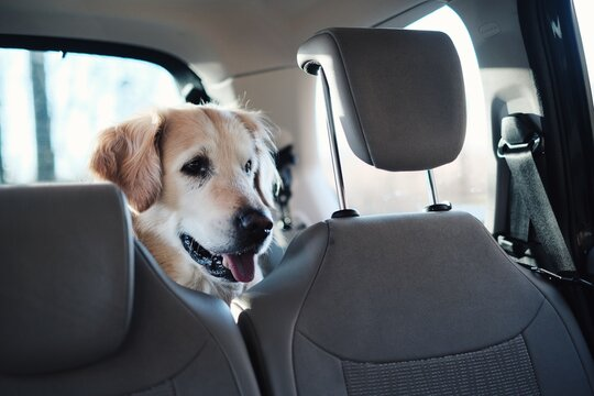 dog in car, golden retriever, happy dog, spring is here