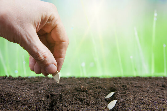 planting seeds in the ground, seed in hand.