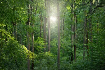 Panoramic view of the dark mysterious beech forest. Mighty trees. Sunlight through the tree trunks,...