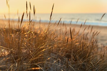 Baltic sea shore at sunset. Sand dunes, plants (Ammophila) close-up. Soft sunlight, golden hour. Environmental conservation, ecotourism, nature, seasons. Warm winter, climate change. Macrophotography