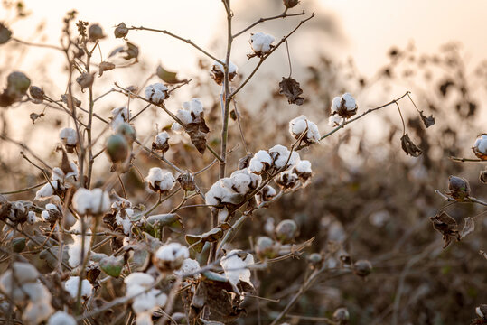 Cotton is a soft, fluffy staple fiber that grows in a boll, or protective case, around the seeds of the cotton plants of the genus Gossypium in the mallow family Malvaceae