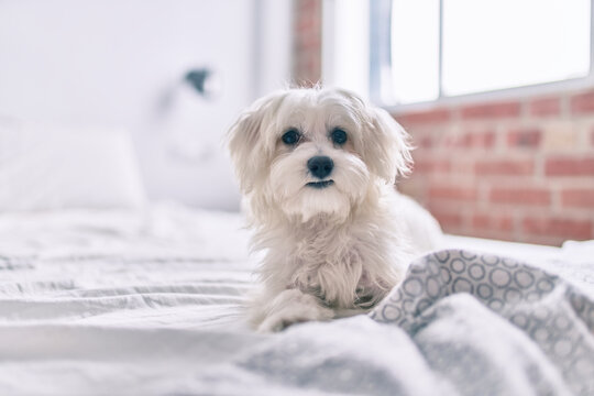 Adorable white dog at bed.