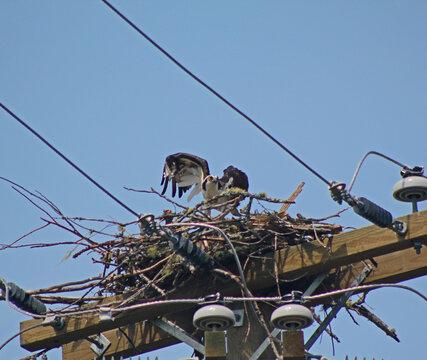 Osprey making nest on hydro pole