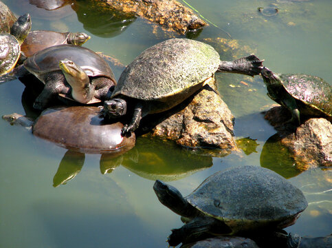 soft-shelled turtle playing with friends