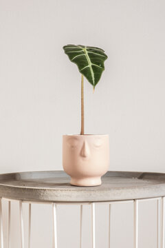 Cute single leaf Alocasia polly in a handmade pink pot with a smiling face. Trending tropical houseplants, closeup