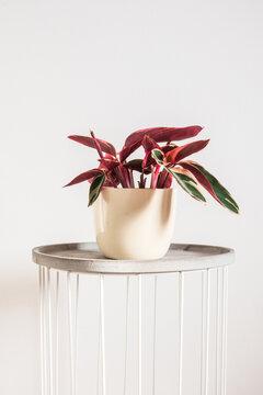 Stromanthe Triostar in a beige glossy decorative pot. Trending pink variegated prayer plant