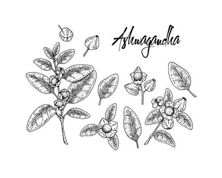 Set of hand drawn Ashwagandha branches with berries  and leaves isolated on white background. Vector illustration in sketch style.