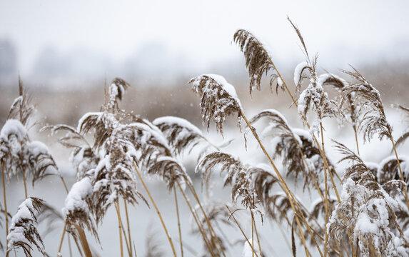 reeds in winter