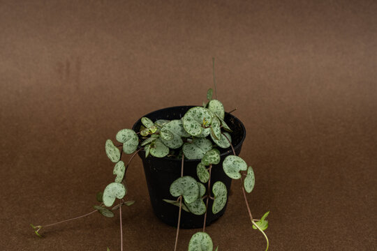 Ceropegia woodii in black flowerpot on brown background, top view
