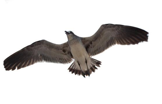Gaviota con sus alas expandidas simétricamente en fondo blanco