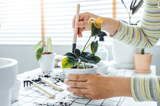 Asian Woman gardener potting new plant and Repotting pot for House plant .Plants care concept