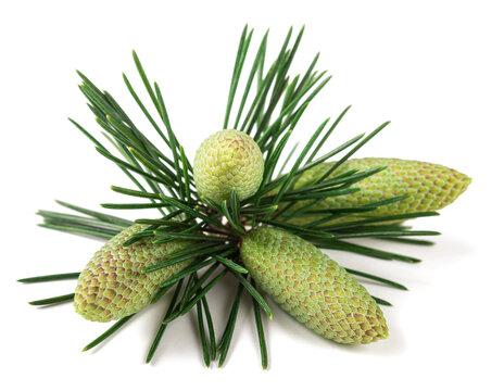 Cedrus deodara branch with cones