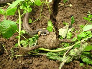 Fototapeta zaskroniec, wąż zjadający żabę - polowanie zwierząt obraz