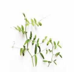 Fototapeta Kompozycja roślinna ziele gałązka obraz