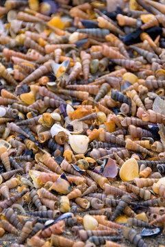 Millionen kleiner Muscheln am Strand in der Camargue