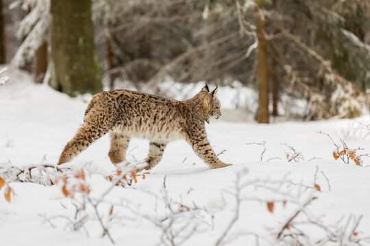 Eurasian Lynx walking in then morning time, wild cat in the forest with snow colored sunrise.