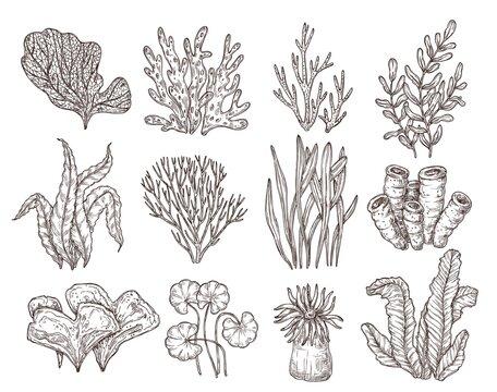 Sketch seaweed. Isolated ocean seaweeds, aquarium decorative art elements. Underwater corals, engraving sea algae laminaria exact vector set. Ocean underwater plant or aquarium illustration