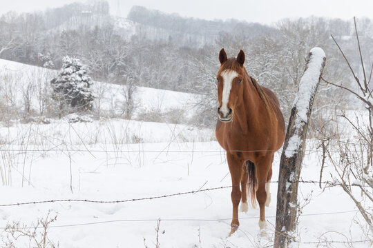 A chestnut colored horse standing in the snow at a barbed wire fence.