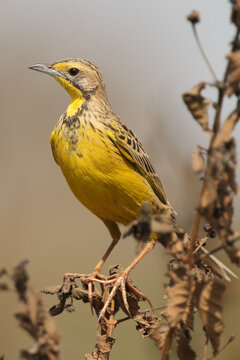 The yellow-throated longclaw (Macronyx croceus) sitting on a withered stalk. A small yellow bird with long toes sitting on a dry stalk on a brown background