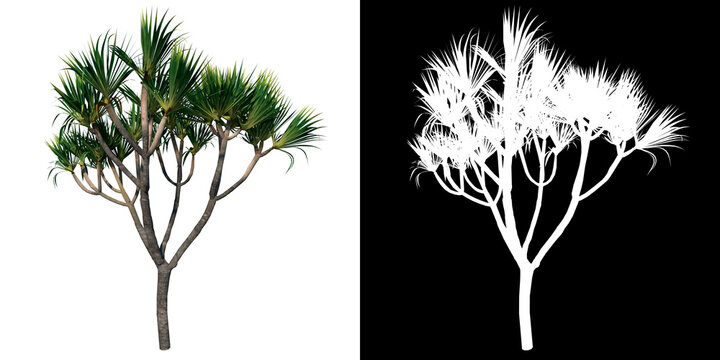 Front view of Plant (Pandanus Pandan Pudak) Tree png with alpha channel to cutout made with 3D render