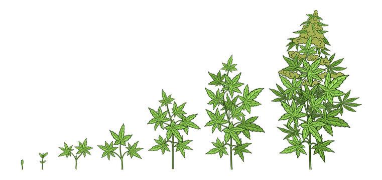 Hemp growth stages. Plants development. Cannabis indica. Medicinal plant. Vector illustration. Infographic set. Harvest animation progression.