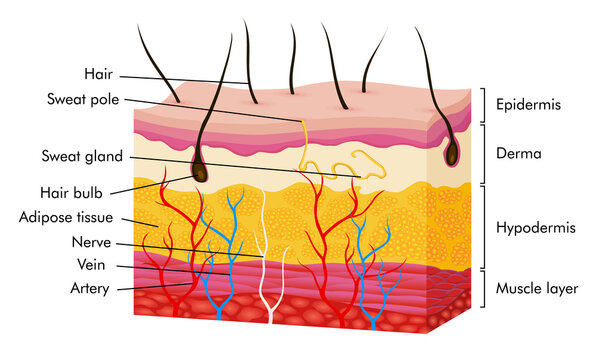 Skin anatomy. Human body skin vector illustration with parts vein artery hair sweat gland epidermis dermis and hypodermis. Human Cross-section of the skin layers structure