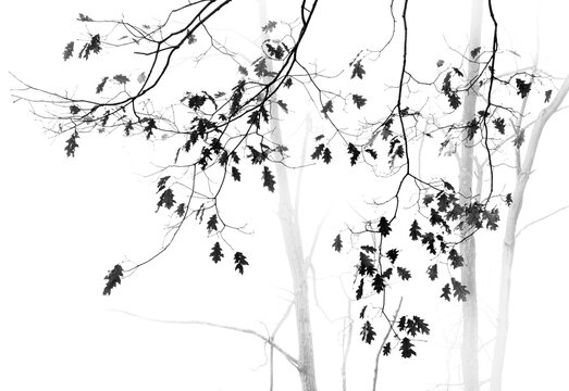 Minimalist black and white photograph of oak trees on a misty morning