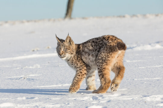 Eurasian lynx, a cub of a wild cat in the snow. Beautiful young lynx in the wild winter nature. Cute baby lynx walks on a meadow in winter, cold conditions.