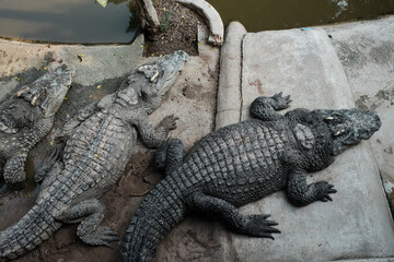 crocodile in the Zoo. Many alligator in farm show. crocodiles and alligators rests on the shore near the lake