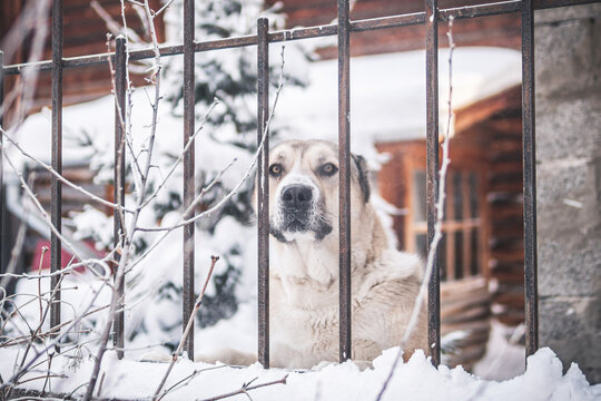 angry guard dog behind the fence