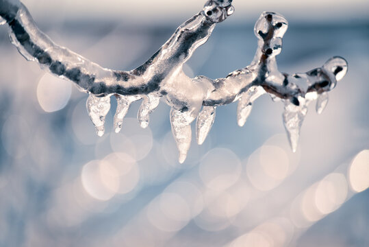 A tree branch with melting icicles and a gentle frosty background. Close-up. Selective focus. Thaw.