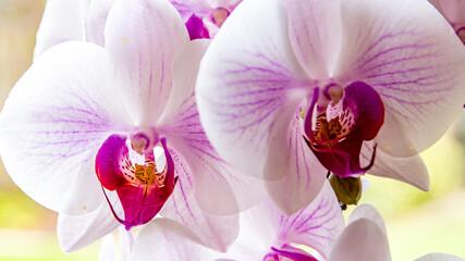 Fototapeta biało fioletowy storczyk