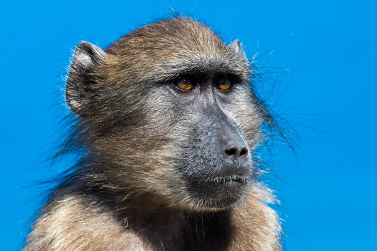 Baby Baboon at Cape of Good hope
