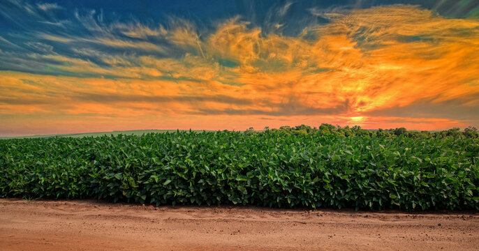 Agricultural soy plantation on sunset - Green growing soybeans plant against sunlight