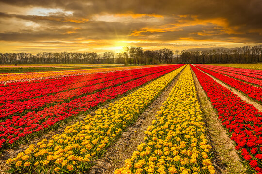 Dutch landscape near Lisse with yellow and orange blooming tulips and colorful sunset