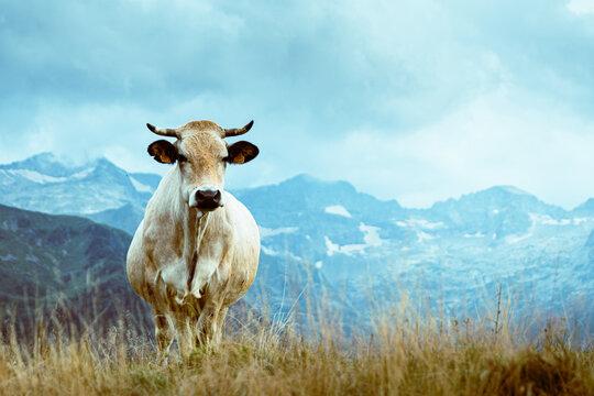 una vaca blanca mirando a la cámara sobre pasto con montañas verdes al fondo en un día nublado