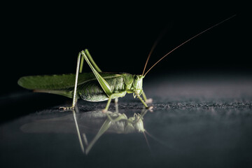 Selective focus shot of a green giant grasshopper on the reflective surface