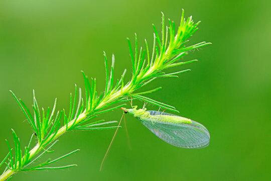 Chrysopidae inhabits Artemisia, North China