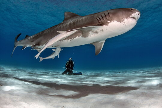 Tiger Shark with Lady Diver on Bahamas
