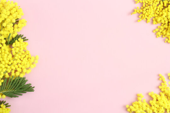 Mimosa  branches on pastel pink background. Spring, sprintime concept. Space for text.
