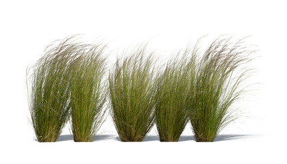 Fototapeta Row of ornamental grasses swaying in the wind isolated on white background obraz