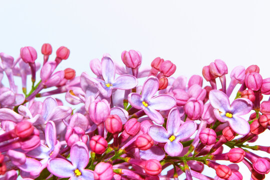 spring flowers lilac isolated on white background.