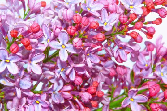 Bright and colorful flowers lilac